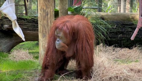 Así es la vida de la orangutana Sandra en el santuario de simios de Florida
