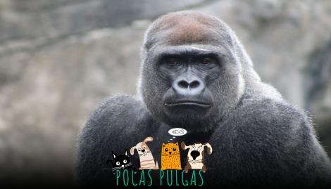 Un gorila usó lenguaje de señas para comunicarse con turistas y lograron descifrar qué les dijo