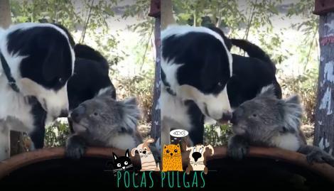 """Incendios en Australia: el """"beso"""" entre un perro y un koala que se volvió viral"""